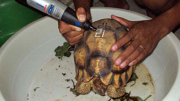 Tartaruga recebe 'tatuagem' no casco para perder valor de marcado no tráfico (Foto: Durrell Conservation Trust)