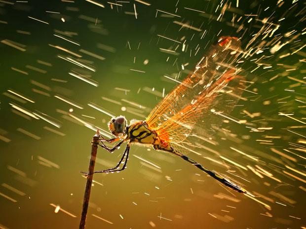 Esta imagem de uma libélula foi a vencedora do Grande Prêmio e da categoria Natureza do Concurso Fotográfico de 2011 da revista National Geographic. A foto foi feita nas Ilhas Riau, na Indonésia. 'Quando me preparei para fazer a foto dela, começou a chover. Decidi tirar a foto assim mesmo', disse o fotógrafo (Foto: Shikhei Goh/National Geographic Photography Contest)