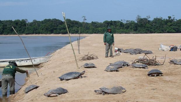 Tartarugas seriam vendidas para consumo em ceias de Natal em Roraima (Foto: Divulgação/Samuel Lima Rodrigues/ICMBio)