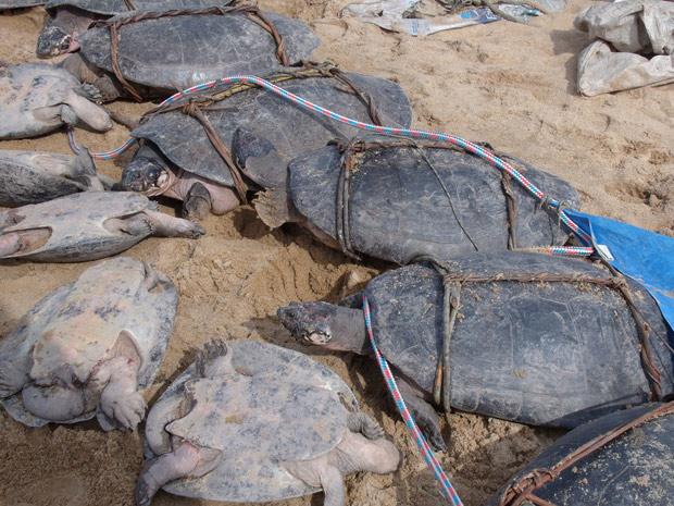 Tartarugas foram levadas de volta para as águas do Rio Branco, em Caracaraí (RR) (Foto: Divulgação/Samuel Lima Rodrigues/ICMBio)