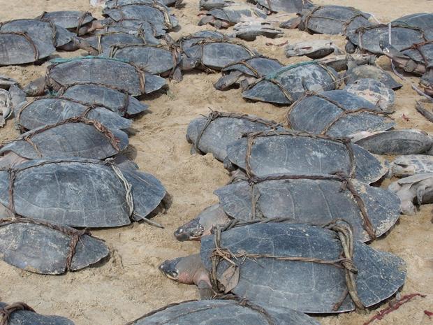 Tartarugas foram estavam amarradas, ensacadas e prontas para serem transportadas até Boa Vista (Foto: Divulgação/Samuel Lima Rodrigues/ICMBio)