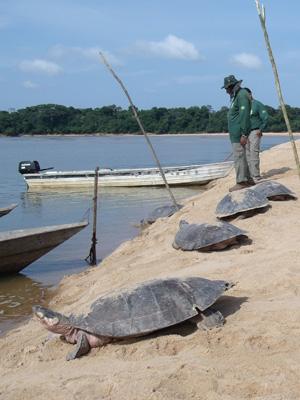 Fiscais destruíram seis acampamentos e quatro 'currais' usados para estocar as tartarugas (Foto: Divulgação/Samuel Lima Rodrigues/ICMBio)
