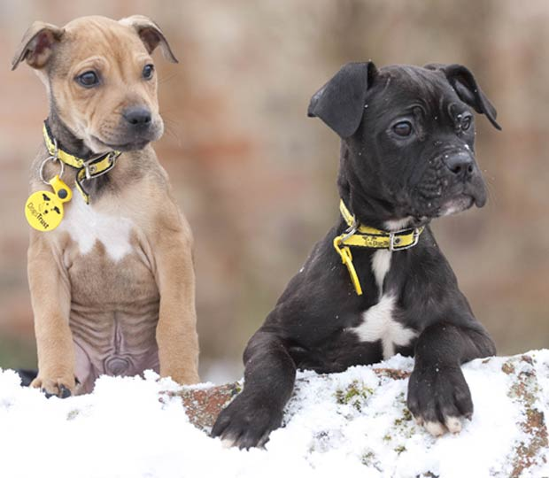 Pudding e Brandy (Foto: Dogs Trust)