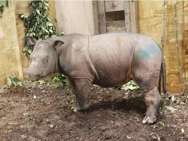 A fêmea de rinoceronte Puntung em foto divulgada nesta segunda-feira (26) (Foto: Reuters)