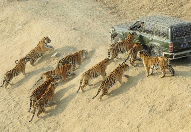 Grupo de tigres-siberianos cerca carro de tratadores em reserva localizada em Harbin, na China (Foto: Sheng Li/Reuters)