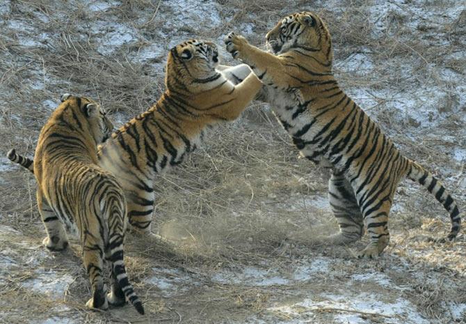 Alguns espécimes brigam entre eles durante a disputa pela galinha (Foto: Sheng Li/Reuters)