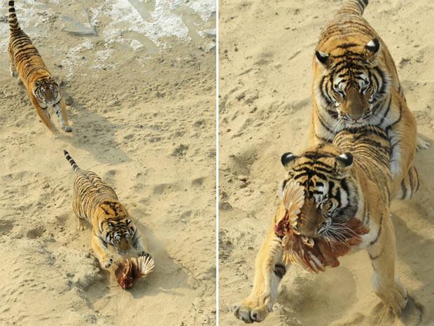 A disputa foi acirrada entre os tigres-siberianos, até que a galinha foi capturada por um deles. A caçada foi acompanhada por um grupo de visitantes (Foto: Sheng Li/Reuters)
