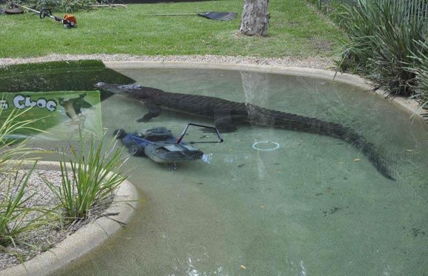 O crocodilo Elvis toma conta do cortador de grama nesta quarta-feira (28) em parque na Austrália (Foto: AP)