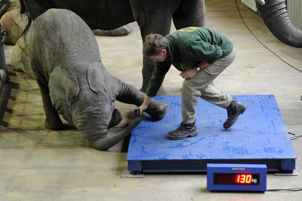 Elefante bebê chamado 'Uli' se recusou a subir na balança. (Foto: Marius Becker/AFP)