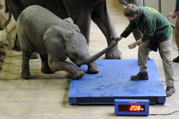 """Tratador puxou """"Uli"""" pela tromba, mas animal resistia em subir na balança. (Foto: Marius Becker/AFP)"""