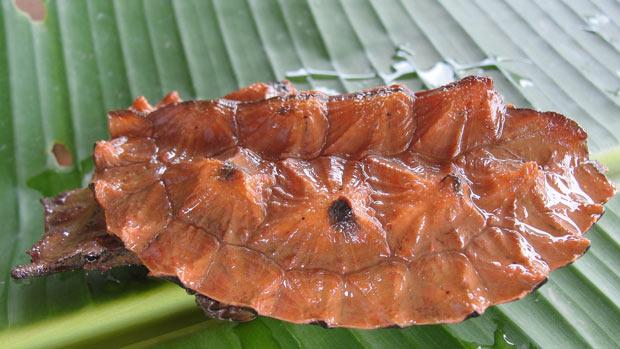 Um exemplar de Matá-Matá (Chelus fibriatus) (Foto: Divulgação/Juliano Tupan)
