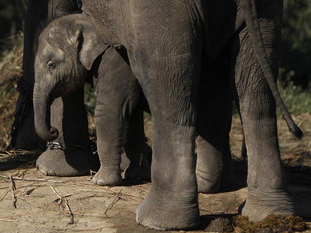 elefante2 (Foto: Niranjan Shrestha/AP)