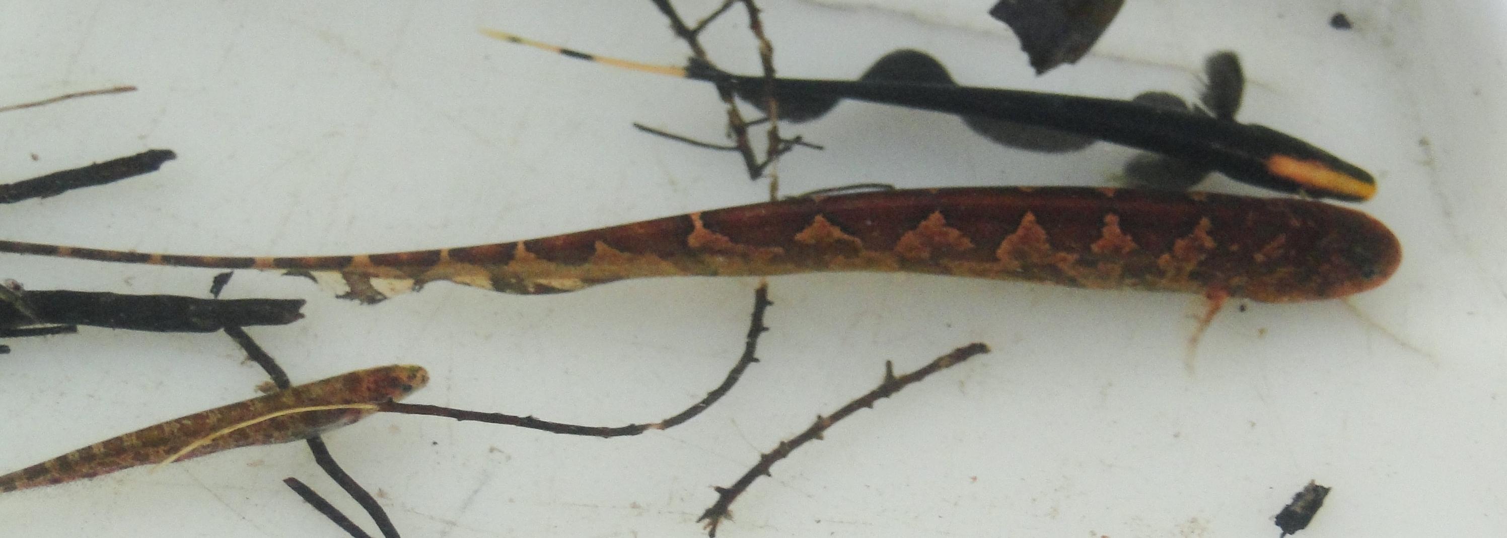Na imagem, três diferentes espécies existentes na bacia do Rio Branco, em Roraima. (Foto: Divulgação)
