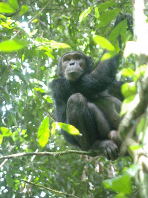 Chimpanzés sobem em árvores para fugir das cobras (Foto: Roman Wittig/MPI f. Evolutionary Anthropology)