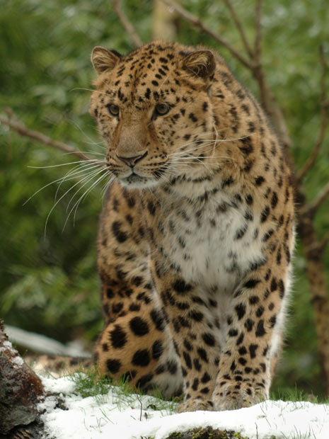 Exemplar de leopardo-de-amur (Foto: Divulgação/Wildlife Heritage Foundation/AP)