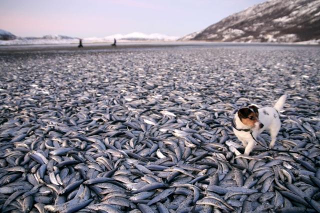 Milhares de arenques mortos tomaram conta da faixa de areia  (Foto: Jan Petter Jorgensen/Scanpix/Reuters)
