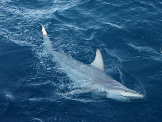 Foto mostra um tubarão híbrido, resultado do encontro de tubarões-de-ponta-negra comuns com as versões australianas da espécie. (Foto: Pascal Geraghty / NSWDPI / AFP Photo)