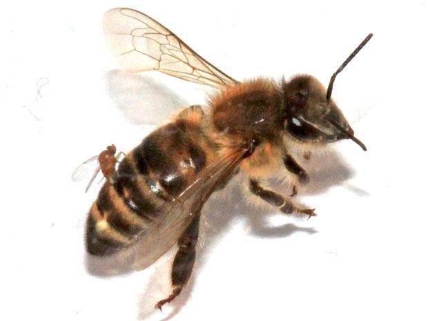 Mosca da espécie com abelha 'zumbi' (Foto: Christopher Quock)
