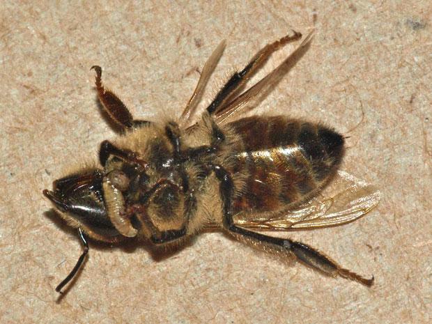 Larvas de mosca saem pelo tórax da abelha (Foto: John Hafernik/Cortesia)