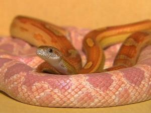 Cobras estavam em armários dentro de casa em Senador Canedo (GO) (Foto: Reprodução/TV Anhanguera)