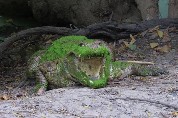 Crocodilo chamou atenção por exibir uma coloração verde. (Foto: Jon Gambrell/AP)
