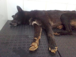 Sergeant, a two year old Belgian shepherd, continues to recover from a shotgun blast to the head. He is under the care of veterinarian Andréia Cristina Ambrizzi at an animal clinic in Itajobi