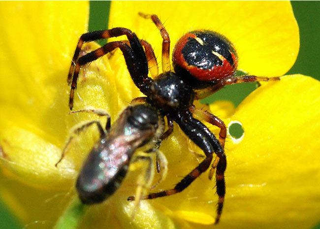 Segundo os especialistas, ter algumas aranhas em casa pode ser útil. Elas funcionam como inseticidas naturais já que comem os insetos a seu redor. (Foto: Sébastien Damoiseau/BBC)
