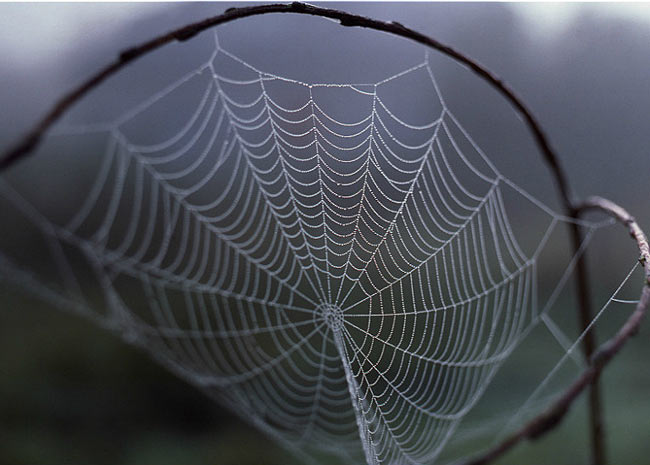 Há décadas cientistas estudam as teias de aranhas, feitas de fios mais resistentes que o aço, e tentam produzir a seda em maior escala. O objetivo é desenvolver materiais revolucionários para a medicina e engenharia.  (Foto: Bernard Le Garff/BBC)