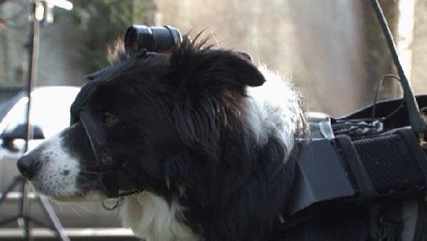 Empresa britânica equipa cães com câmeras sem fio para resgates (Foto: BBC)