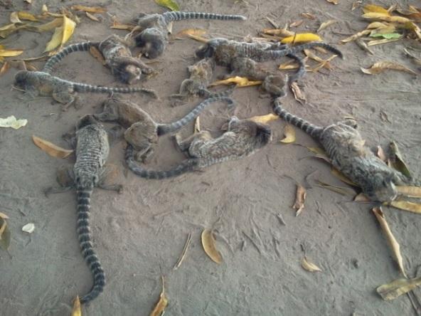 Micos mortos em Cruz das Almas (Foto: Paulo Galvão/ Forte na Notícia)