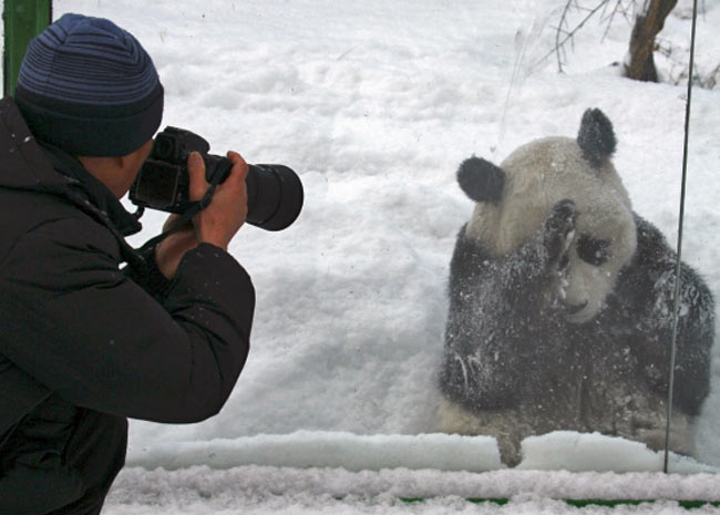O urso-panda na China (Foto: Reuters/China Daily)