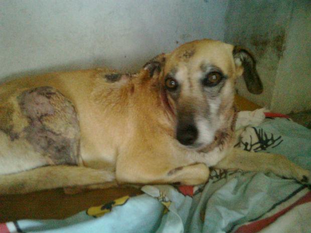 Tchuca, como é conhecida a cadela salvadora, ficou gravemente ferida (Foto: Laertes Machado)