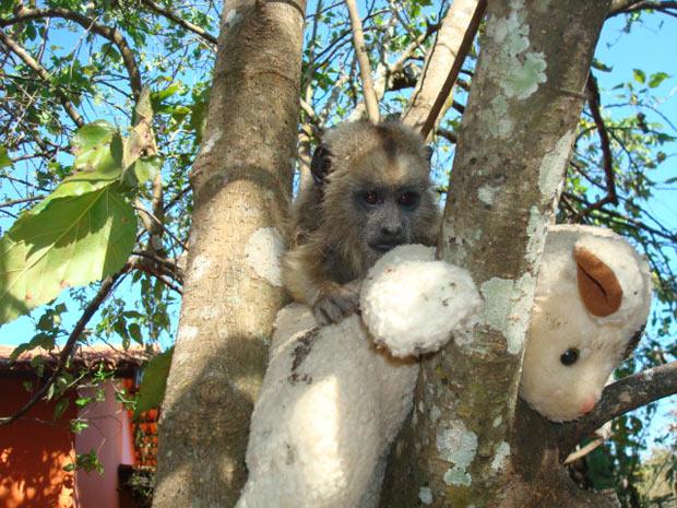 macaco-guariba (Foto: Divulgação/Ibama)