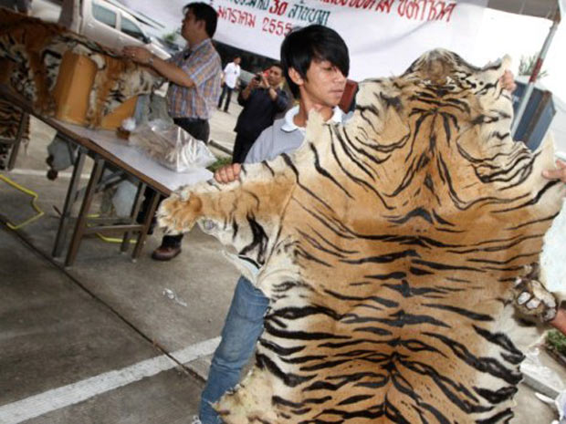 pele de tigre (Foto: Somchai Poomlard/AFP)