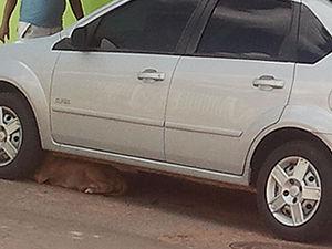 Cadela da raça Pit bull se abrigou embaixo de um carro   (Foto: Kelly Martins - G1)