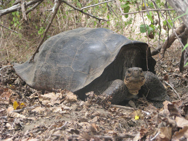 Exemplar híbrido (cruzamento das espécies G. Becky and C. elephantopus) vive na Ilha Floreana, em Galápagos. Análise genética apontou a existência de exemplares puros da espécie de tartaruga-gigante, considerada extinta há 150 anos. (Foto: Divulgação/Universidade Yale)
