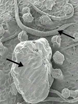 Setas mostram grão de areia (maior) e verme (menor) dentro de uma folha em imagem obtida por microscopia eletrônica. (Foto: PNAS / Divulgação)