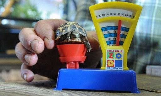 Exemplar de tartaruga-aranha (Pyxis arachnoides) é colocada em uma balança de brinquedo no zoológico de Hanover, na Alemanha, nesta terça-feira (10). Durante o inventário anual feito pela administração do local, foram pesados e medidos mais de 3 mil animais de todas as espécies. (Foto: Julian Stratenschulte/AFP)