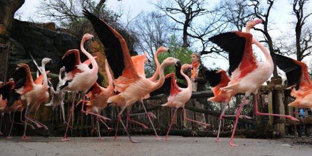 Um grupo de flamingos parece desfilar para a câmera fotográfica nesta terça-feira (10), no zoológico de Hanover, na Alemanha. As aves estão sendo pesadas e contabilizadas, ações que são integram o inventário realizado pelos funcionários. (Foto: Julian Stratenschulte/AFP)