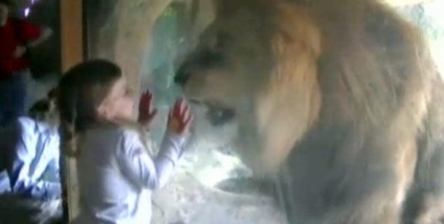 Imagem mostra criança de três anos encarando espécime de leão-africano abrigado no zoológico de Wellington, na Nova Zelândia. Ausência de reação amedrontada da menina tem feito sucesso na internet. (Foto: Reprodução)
