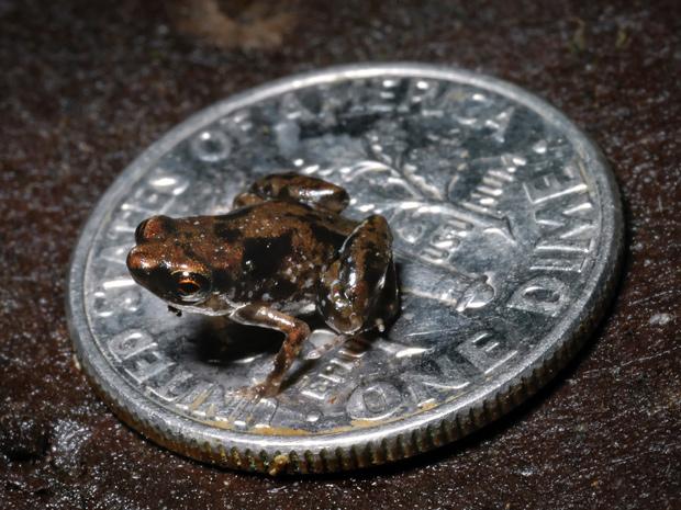 Menor rã do mundo é mostrada em cima de uma moeda. (Foto: Christopher Austin / AFP Photo)