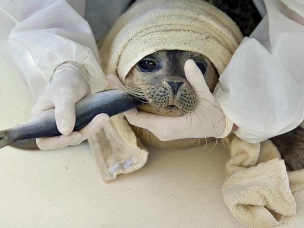 Filhote de foca é alimentado com peixe em centro de reabilitação da cidade de Groningen, na Holanda. (Foto: Peter Dejong/AP)