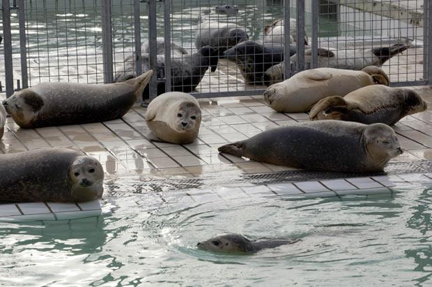 Ao menos cem filhotes de focas apareceram desde o começo de 2012. Alguns bebês foram resgatados com o cordão umbilical. (Foto: Peter Dejong/AP)