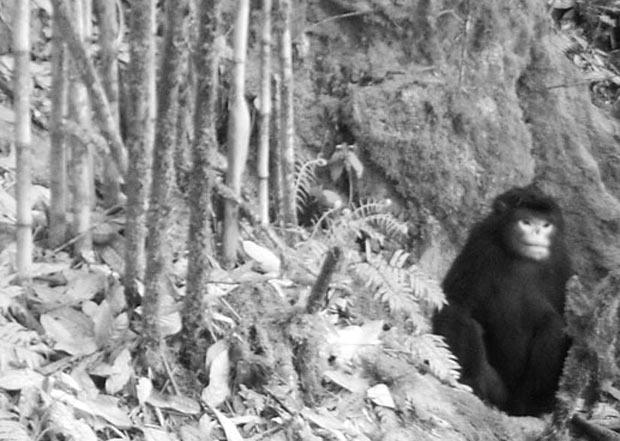 Primeira imagem do macaco (Foto: Divulgação/FFI/BANCA/PRCF)