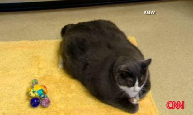 Gato chamado 'Walter' terá que passar por dieta por estar acima do peso. (Foto: Reprodução/KGW)