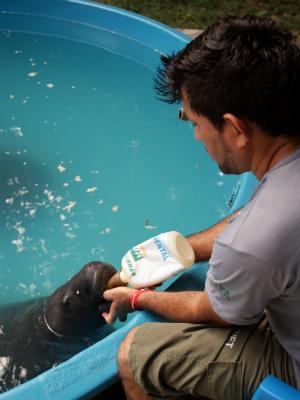 O tratador Carlos alimenta um filhote de peixe-boi (Foto: Tiago Melo/G1 AM)