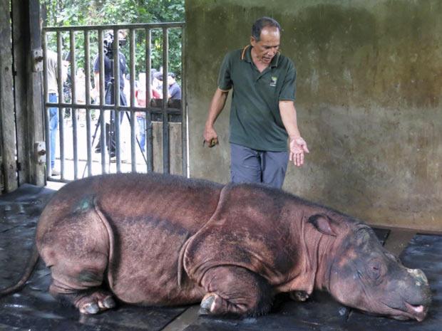 Nesta sexta-feira (13), veterinários do Santuário de rinocerontes de Bornéu, na Malásia analisaram uma fêmea de rinoceronte de Bornéu-Sumatra (Dicerorhinus sumatrensis), capturada na natureza em dezembro passado. Com cerca de 12 anos, as autoridades ambientais do país cuidam do espécime e consideram a última oportunidade de salvar esta espécie em grave perigo de extinção. O animal foi capturado no último dia 18 e levado para o santuário, na tentativa de reprodução. Especialistas acreditam que existam apenas 200 exemplares desta espécie nas ilhas de Bornéu e Sumatra. (Foto: Angie Teo/Reuters)