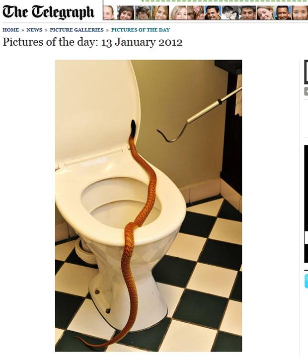 Em uma semana, três serpentes foram achadas em banheiros. (Foto: Reprodução/Daily Telegraph)