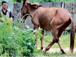 Burro com pata quebrada era obrigado a puxar carroça em Goiás (Foto: Ricardo Rafael/Jornal O Popular)