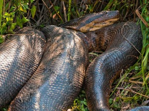 Animal é tímido e se afasta da presença humana, diz biólogo (Foto: Daniel De Granville / Photo in Natura)